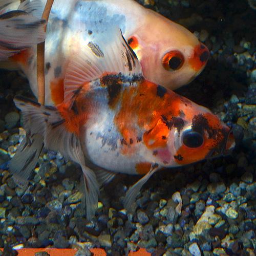 キャリコ琉金 平賀産 1匹(金魚・めだか)