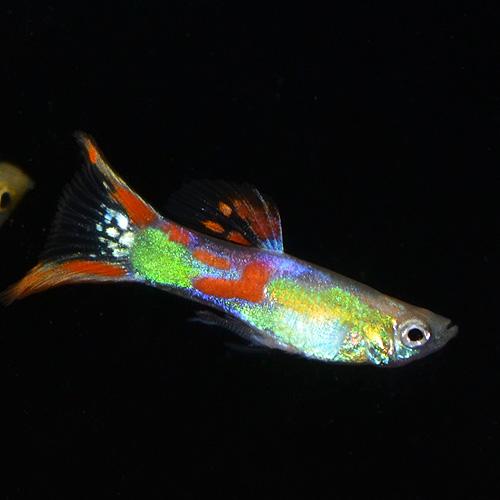 レッドダブルソード系グッピー(外国産グッピー)Mサイズ 1Pr (熱帯魚)