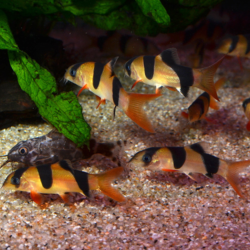 クラウンローチ M〜MLサイズ 3匹 (熱帯魚)