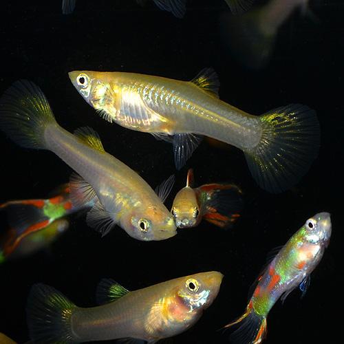 レッドダブルソード系グッピー(外国産グッピー)Mサイズ 3Pr (熱帯魚)