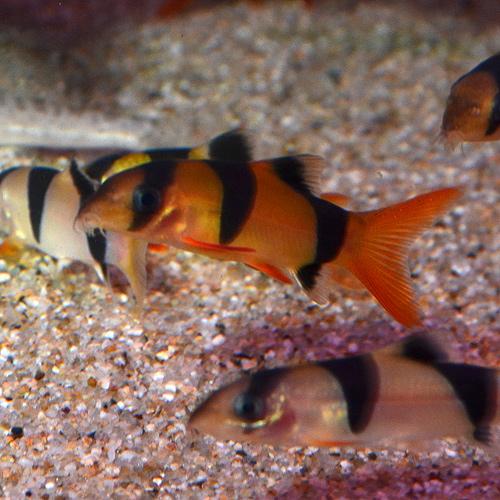 クラウンローチ M〜MLサイズ 1匹 (熱帯魚)