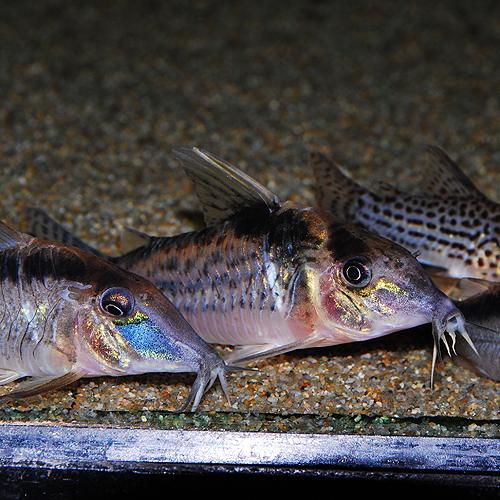 Co.ロブスタス(ワイルド)(熱帯魚)