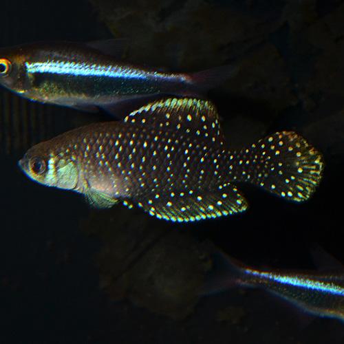 アルゼンチンパール(キノレビアス・ニグリピニス) 1ペア(熱帯魚)
