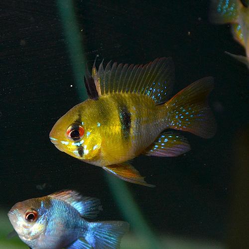 ブルーバルーンラム 1匹 (熱帯魚)