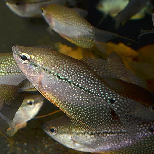 パールグラミー ML〜Lサイズ 3匹 (熱帯魚)
