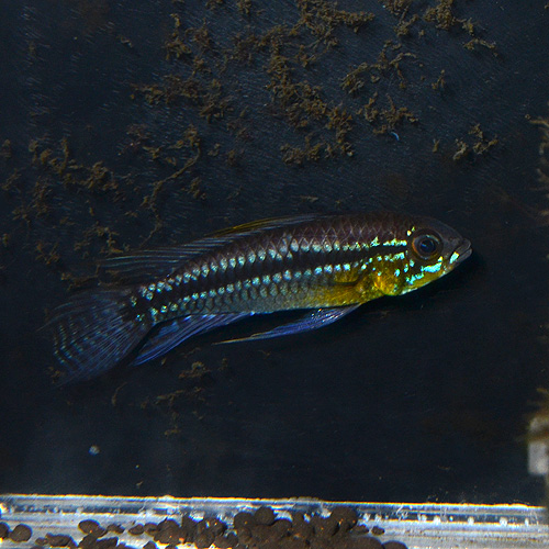 "Ap ビタエニアータ カレイロ産  Mサイズ ""Wild"" 1Pr 1531m (熱帯魚)"