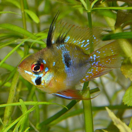 ブルーバルーンラム 2匹 (熱帯魚)