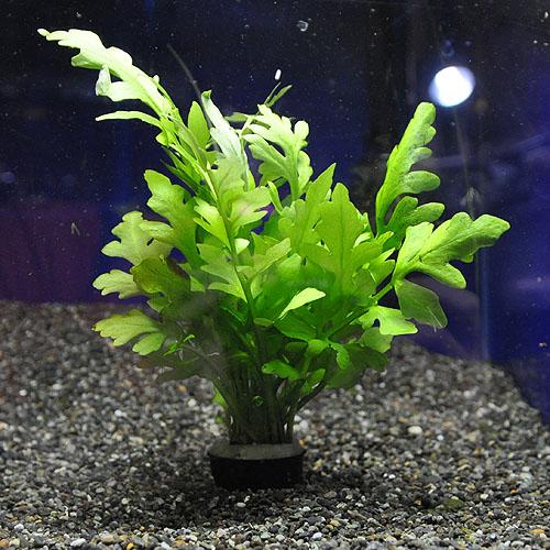 ウォータースプライト  1POT (水草)