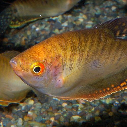 ゴールデングラミー M〜Lサイズ 1匹(熱帯魚)
