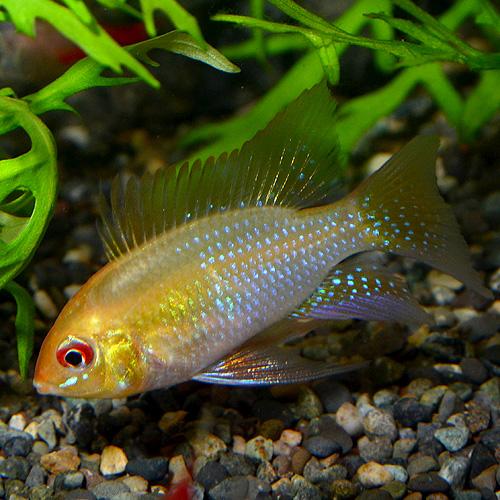 ゴールデンラム Sサイズ 1匹 (熱帯魚)