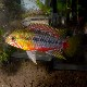 Ap ホングスロイ スーパーレッド (欧州ブリード) (熱帯魚)