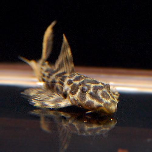 オレンジフィンレオパードトリムプレコMS(熱帯魚)