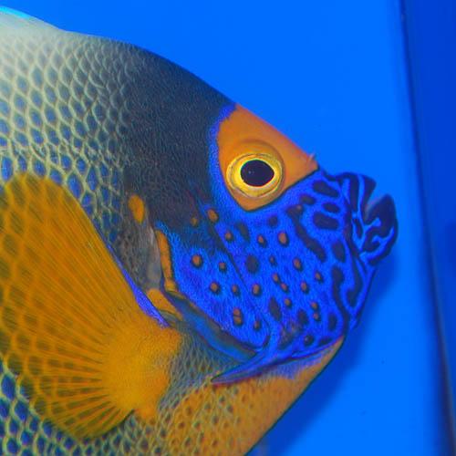 アデヤッコ   L〜LLサイズ 2707m (海水魚)