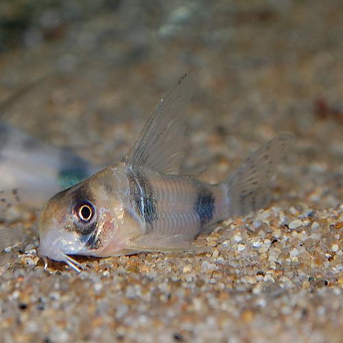 Co.アッシャー(ワイルド)(熱帯魚)