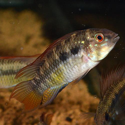 Ap spブライトビンデン ワイルド ♂ (熱帯魚)