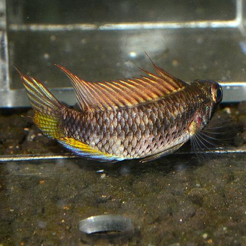 Ap spブライトビンデン ウィルヘルムブリード 1Pr 2625sp (熱帯魚)