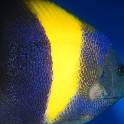 アズファー  M〜MLサイズ 2722m (海水魚)