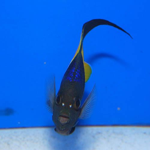 アズファー  M〜MLサイズ 2722m2 (海水魚)
