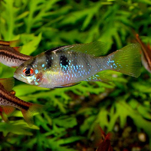 ブルーラム SM〜Mサイズ 1匹 (熱帯魚)