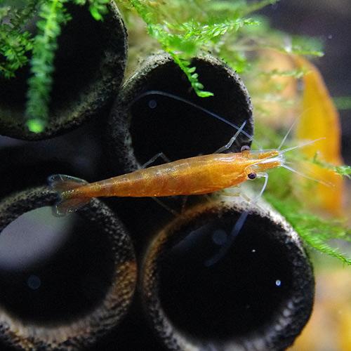 オレンジチェリーシュリンプ 合計10匹(8匹+2匹サービス)(熱帯魚)