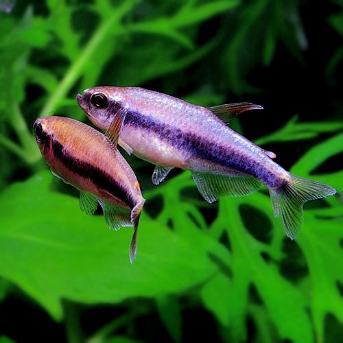 インパイクティス・ケリー1匹 (熱帯魚)