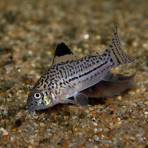 Co.ジュリー(ブリード個体)3匹(熱帯魚)