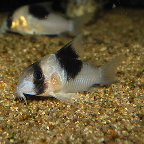 Co.SNスーパービコロール(ワイルド個体)(熱帯魚)