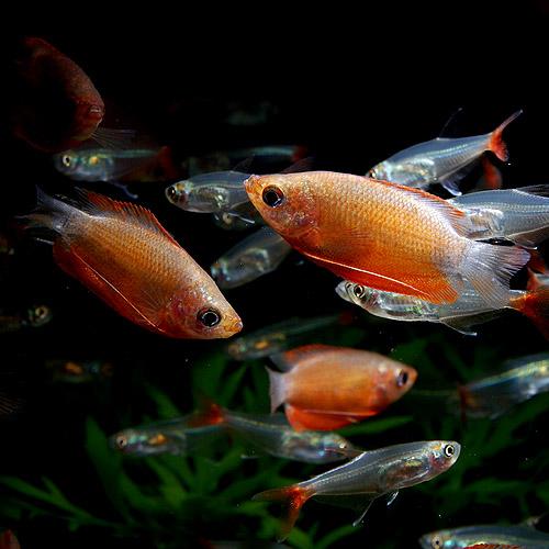 レッド・グラミー 3匹 (熱帯魚)