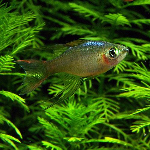 ニューギニアレインボー 1匹 (♂) (熱帯魚)