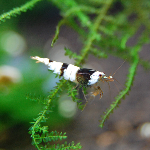 黒ビーシュリンプ ライトグレード バンド 合計5匹(4匹+1匹サービス)(熱帯魚)