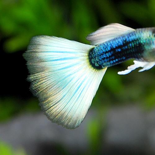 国産 上物 ドイツイエロータキシードML 1pr(熱帯魚)