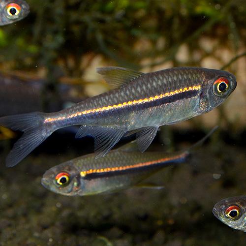ハイフェソブリコン・ヘテロラブドゥス 1匹(熱帯魚)