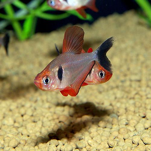 ファイヤーファントム 5匹 (熱帯魚)