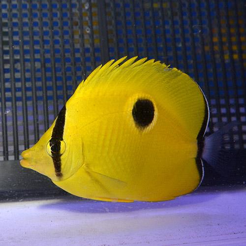 インドイッテンチョウ SM〜Mサイズ (海水魚)