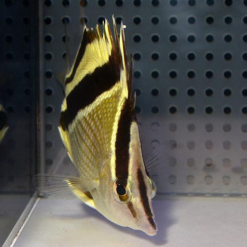 ギアナバタフライフィッシュ M〜MLサイズ (海水魚)