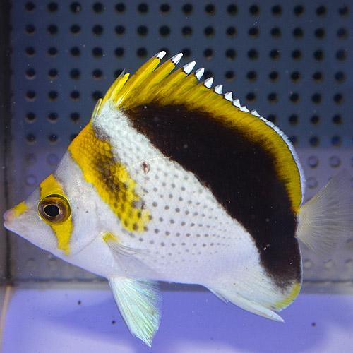 イエロークラウンド・バタフライ SM〜Mサイズ ハイグレード(海水魚)