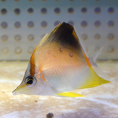 カリビアン・ロングスナウトバタフライ SS〜Sサイズ (海水魚)