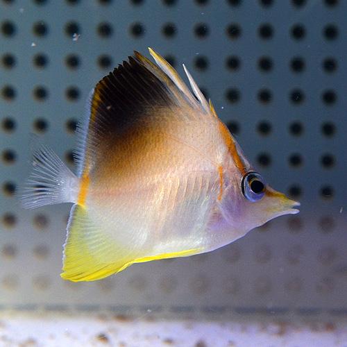 カリビアン・ロングスナウトバタフライ S〜SMサイズ (海水魚)