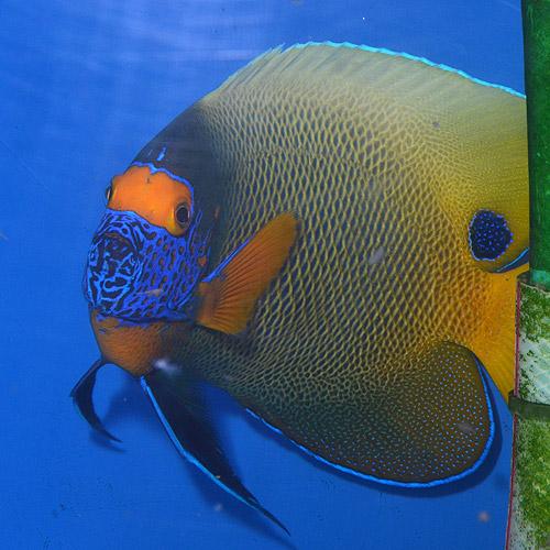 アデヤッコ   L〜LLサイズ (海水魚)