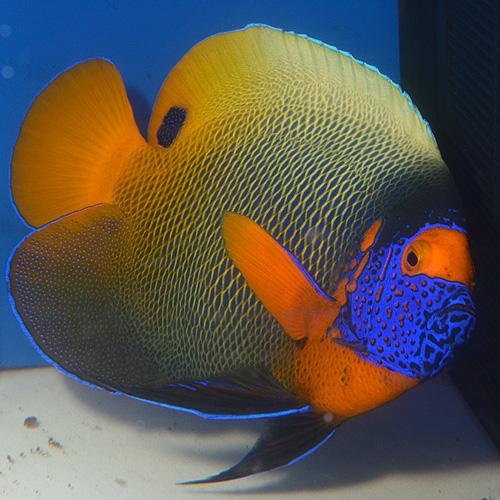 アデヤッコ モルジブ産 LL〜XLサイズ (海水魚)