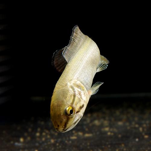 アミアカルバ (S) (熱帯魚)