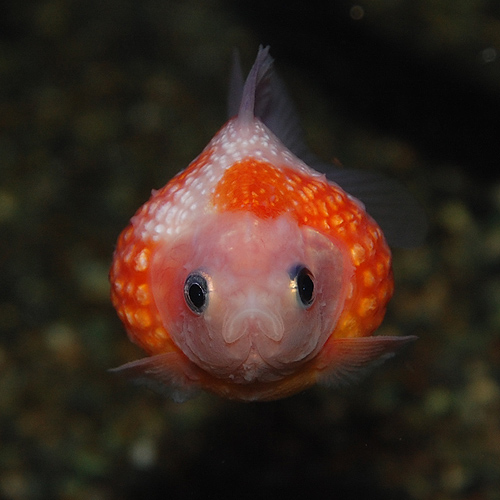 ピンポンパール 3匹(2匹+1匹サービス)(金魚・めだか)