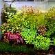 マツバミリオフィラム ログポット  1Pot (水草)