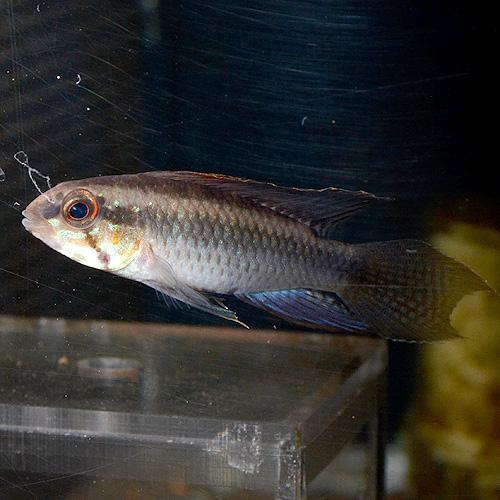 Ap ロートカイル ウアウペス産 1pr 0331a (熱帯魚)