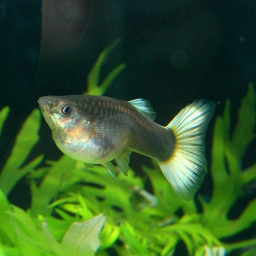 <所沢グッピー> ドイツイエロータキシード Mサイズ 1pr(熱帯魚)