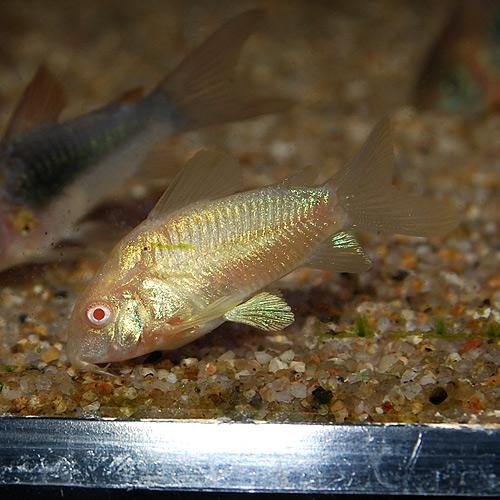 Co.アルビノアエネウス(ブリード個体) 1匹(熱帯魚)