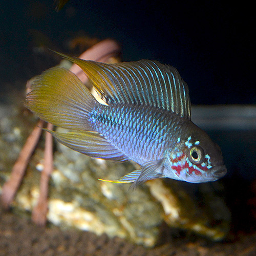 "Ap ボレルリィ ""オパール""美個体 1Pr (ドイツブリード) (熱帯魚)"
