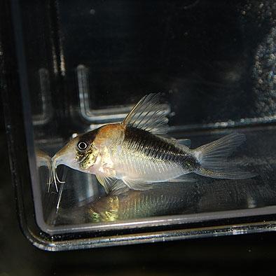 Co. セミロングノーズブロードバンドデビッドサンジー(ワイルド)(熱帯魚)