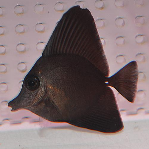 ブラックロングノーズタン 1022 (海水魚)
