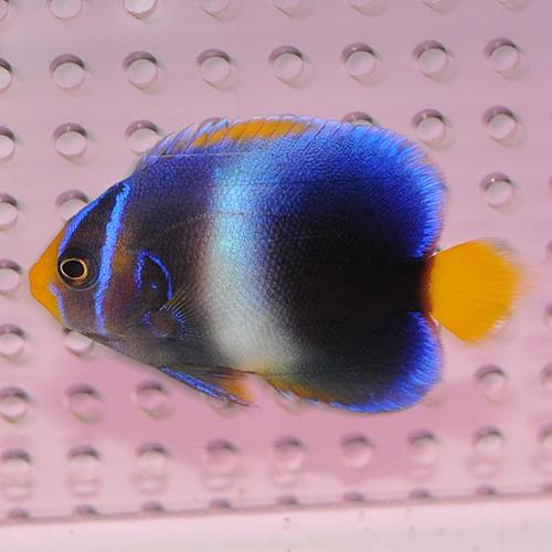 ウエストアフリカンエンゼル 1022 (海水魚)